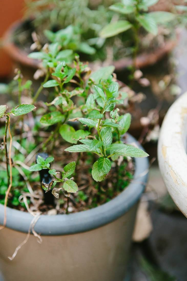 Mint | Patio Container Garden
