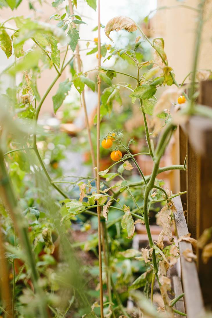 Tomatoes | Patio Garden