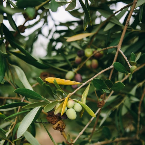 California Olive Ranch Olives | Naturally Ella