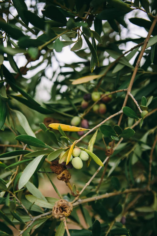 California Olive Ranch Olives | @naturallyella