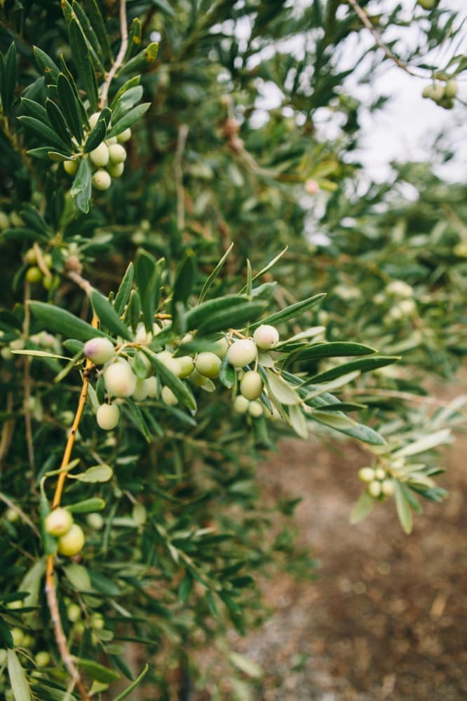 Olives at California Olive Ranch