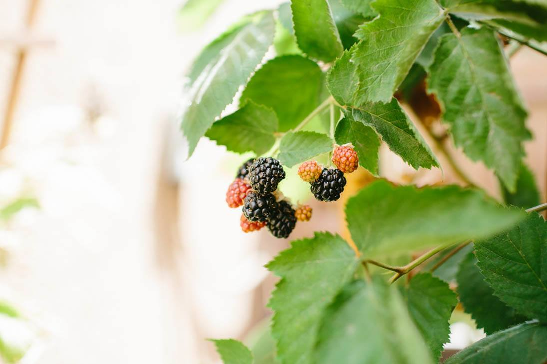Blackberries | Patio Container Garden