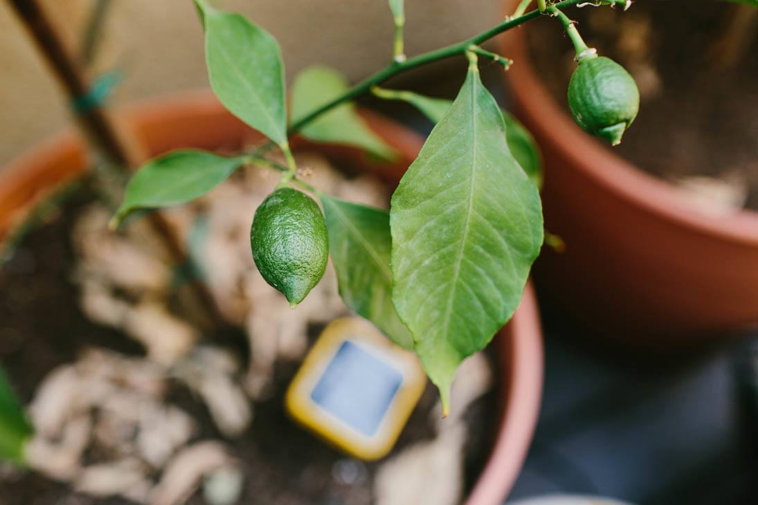 Lemons | Patio Container Garden