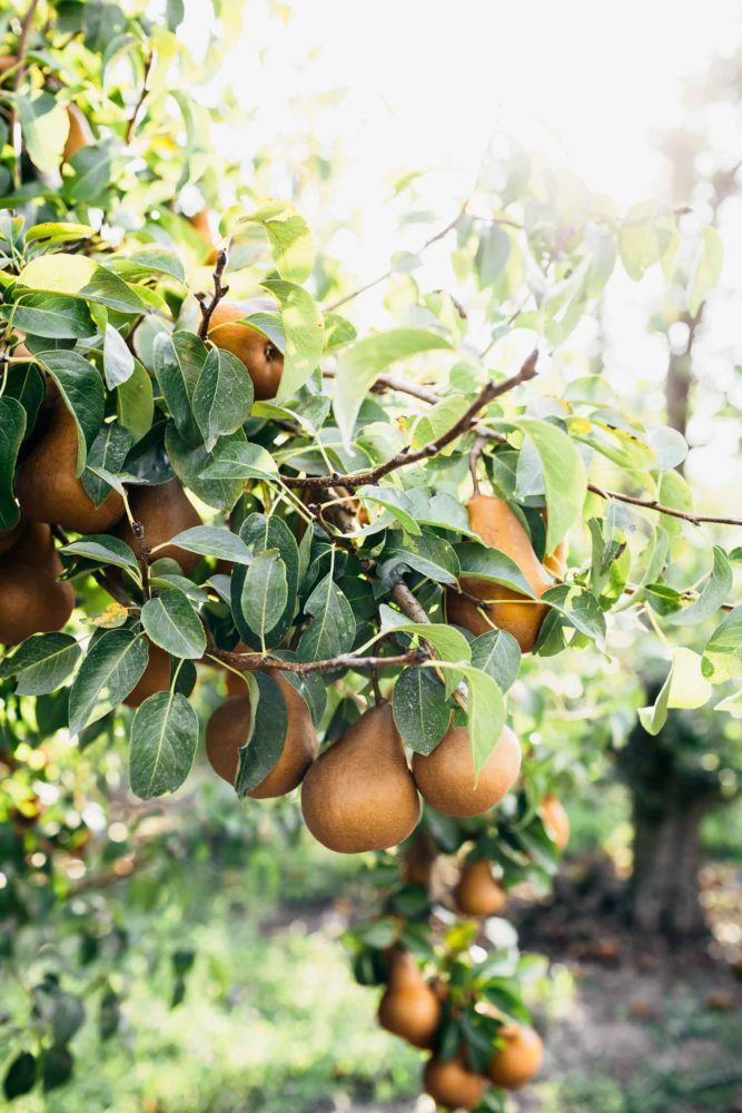 Bosc Pears on the Orchard | Naturally Ella